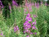 Goytside Meadows - Willowherb