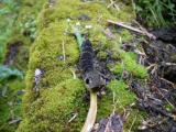 High Lee Park-Elephant Hawk Moth Caterpillar