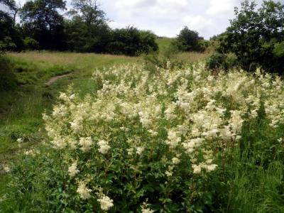Goytside Meadows - Meadowsweet